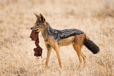 silver-backed-jackal