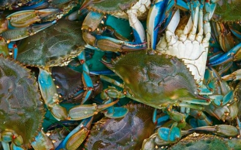709_More-Blue-Crabs