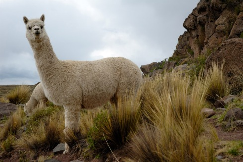 A pair of young alpacas at the pre-Inca burial site of Sillustani, Peru.