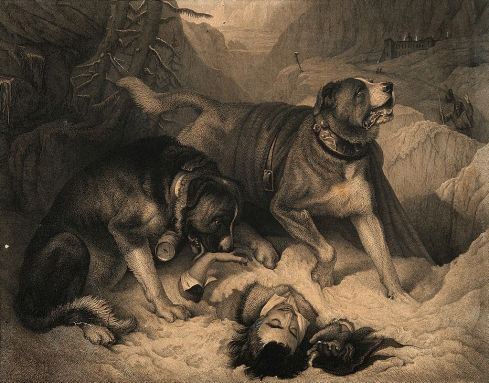 Two_St__Bernard_dogs_with_an_avalanche_victim,_one_tries_to_Wellcome_V0015197